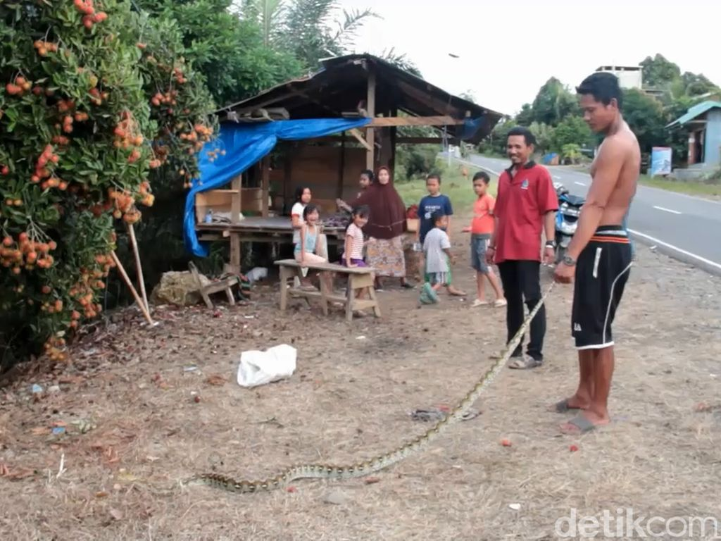 Kerap Mangsa Ternak Warga, Ular Sanca 3 Meter di Mamuju Ditangkap