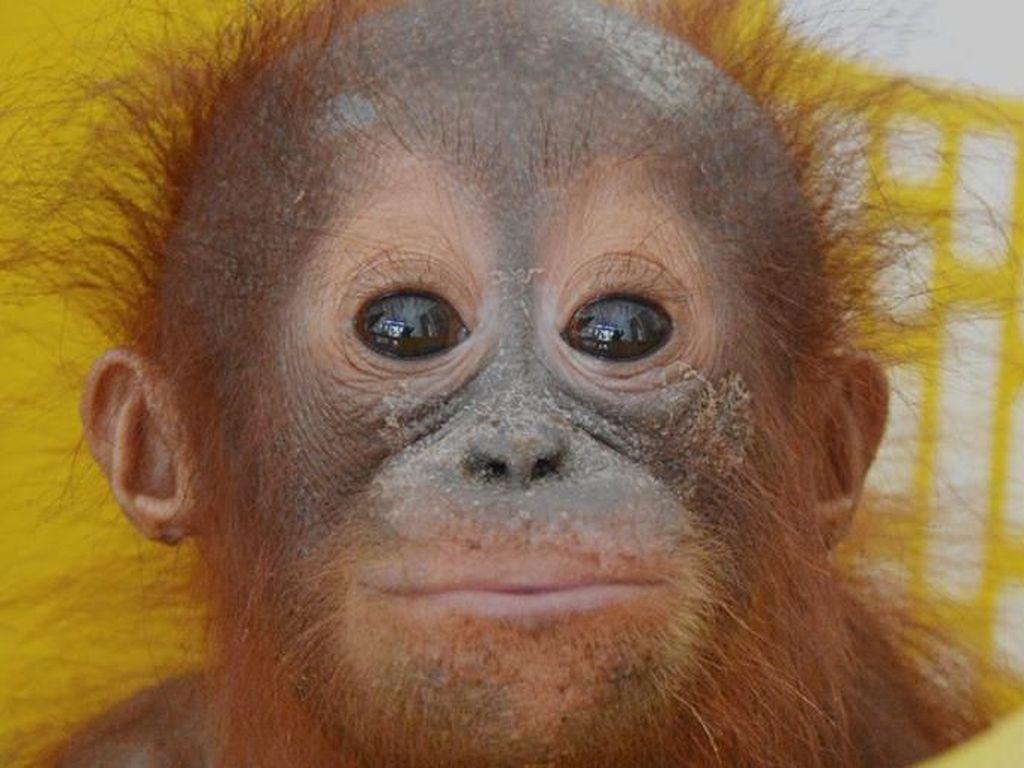Gemas! Bayi Orangutan Pertama yang Diselamatkan di  2020