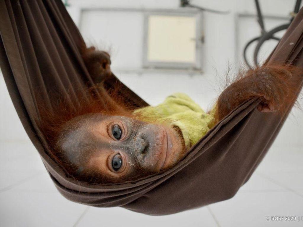 Hari Orangutan Sedunia 19 Agustus, Simak Kondisi Satwa Endemik Itu