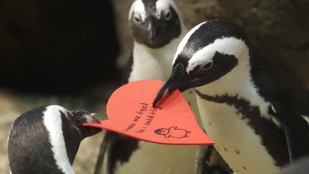 Gemasnya Aksi Penguin Rebutan Surat Cinta Jelang Valentine