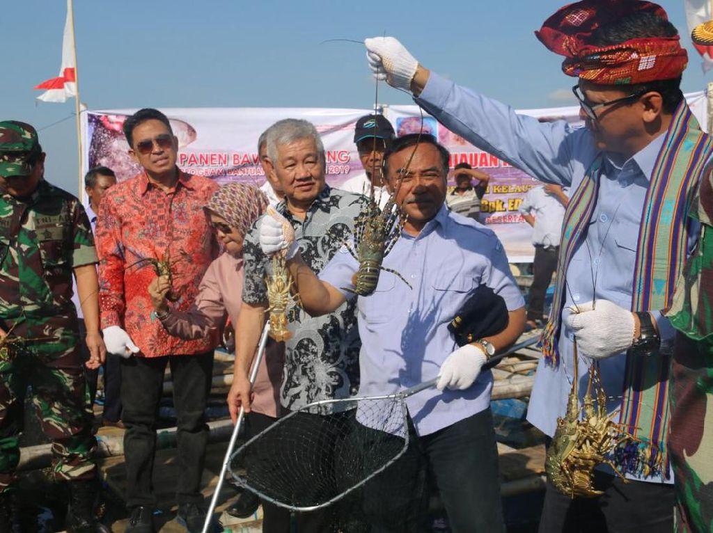 Buat Pedoman Teknis Budidaya Lobster, KKP Ingin Ungguli Vietnam