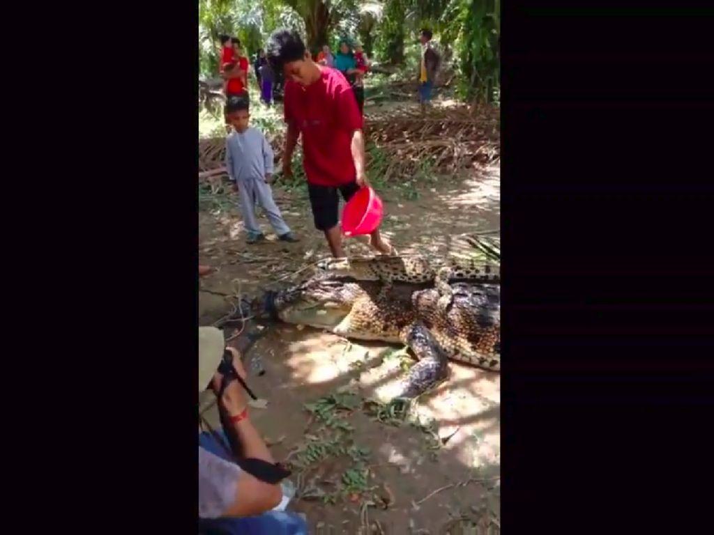 Mangsa Ternak dan Bikin Resah, Induk Buaya 5 Meter Ditangkap Warga