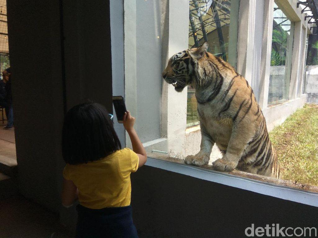 Mengintip Cantik dan Jelita, Duo Harimau Benggala di Bandung Barat