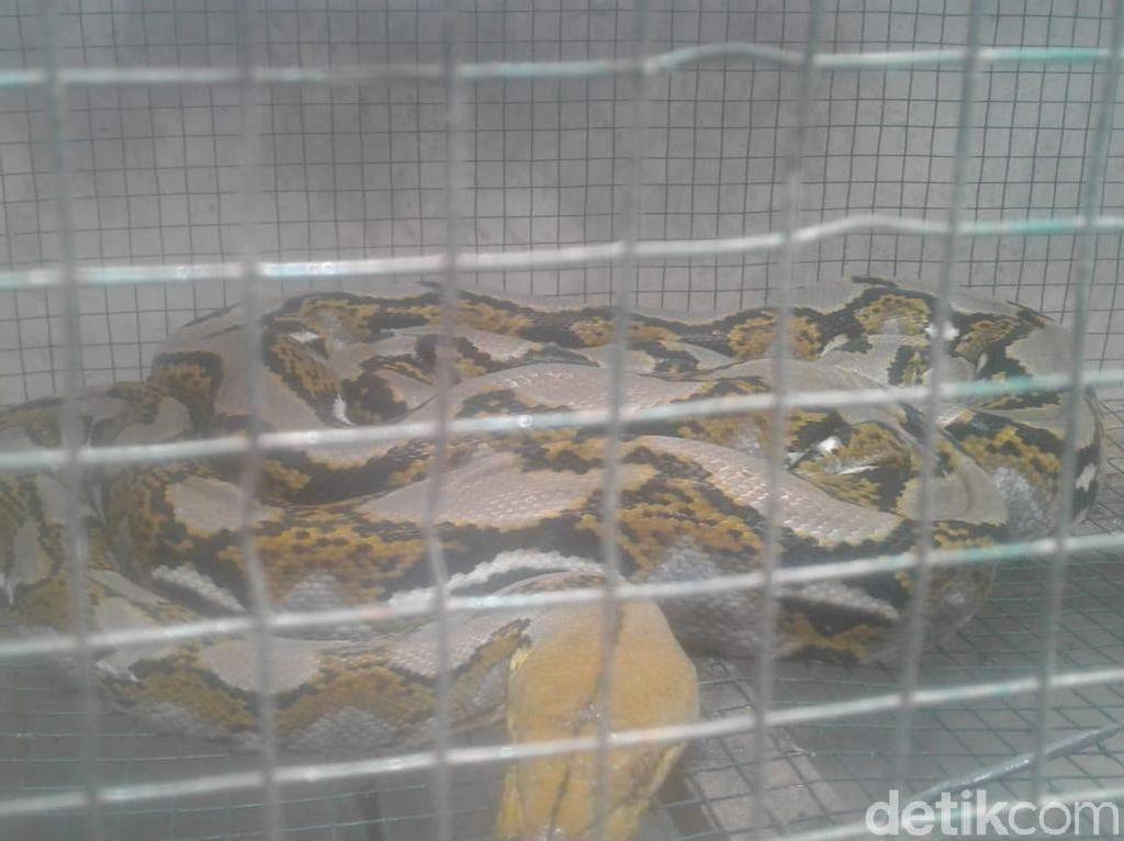 Ular Sanca 3 Meter yang Makan Ternak Warga Banyuwangi Ditangkap