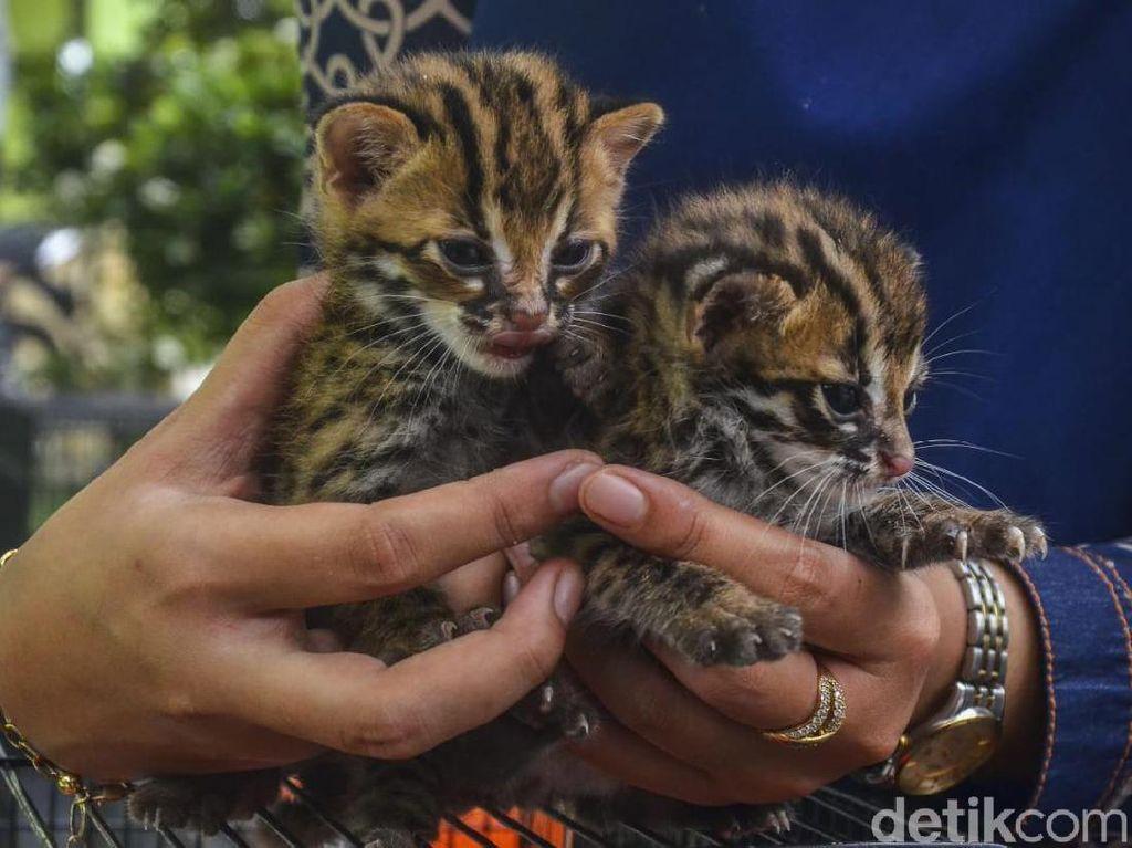2 Anak Kucing Hutan Ditemukan Warga Pekanbaru, Diserahkan ke BBKSDA Riau