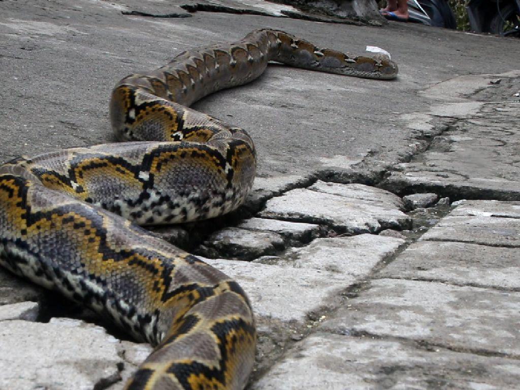 Damkar Tangkap Ular Sanca 3 Meter di Gorong-gorong Jaktim