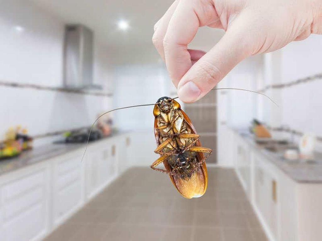 Ada Kecoa Besar di Dapurnya, Pria Ini Pasang Iklan di Internet