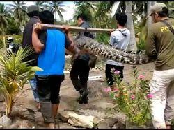 Meresahkan, Buaya 4 Meter di Mamuju Tengah Kembali Ditangkap Warga