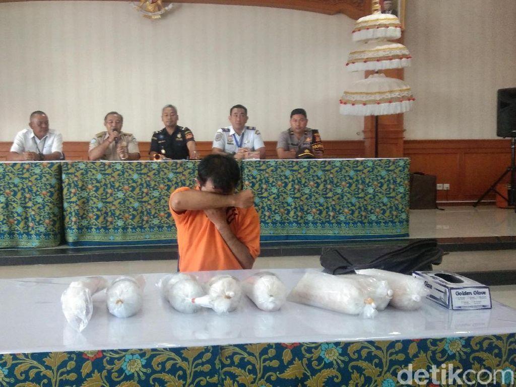 Penyelundupan Baby Lobster Senilai Rp 1,5 M Digagalkan Bea Cukai Bali