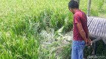 Geger di Bondowoso, Penemuan Mayat Tanpa Kepala di Pematang Sawah