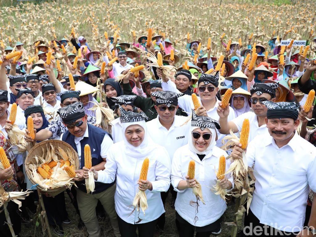 Panen Raya dengan Warga Samin, Gubernur Sebut Jagung Komoditas Andalan Jatim