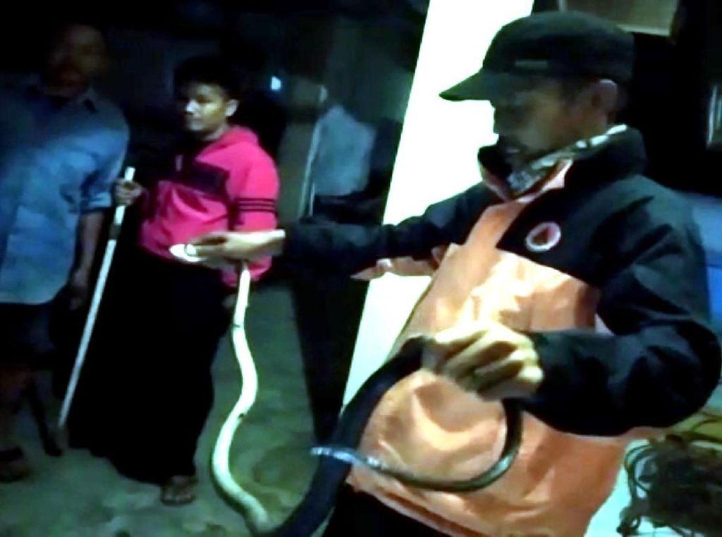 Sempat Semburkan Bisa, Ular Kobra Ditangkap Warga di Sukabumi