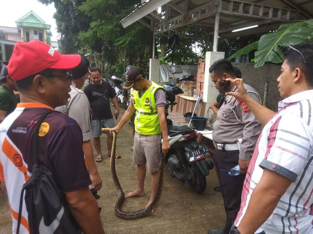 Ular Sanca 3 Meter Muncul di Lokasi Banjir Bojong Kulur Bogor