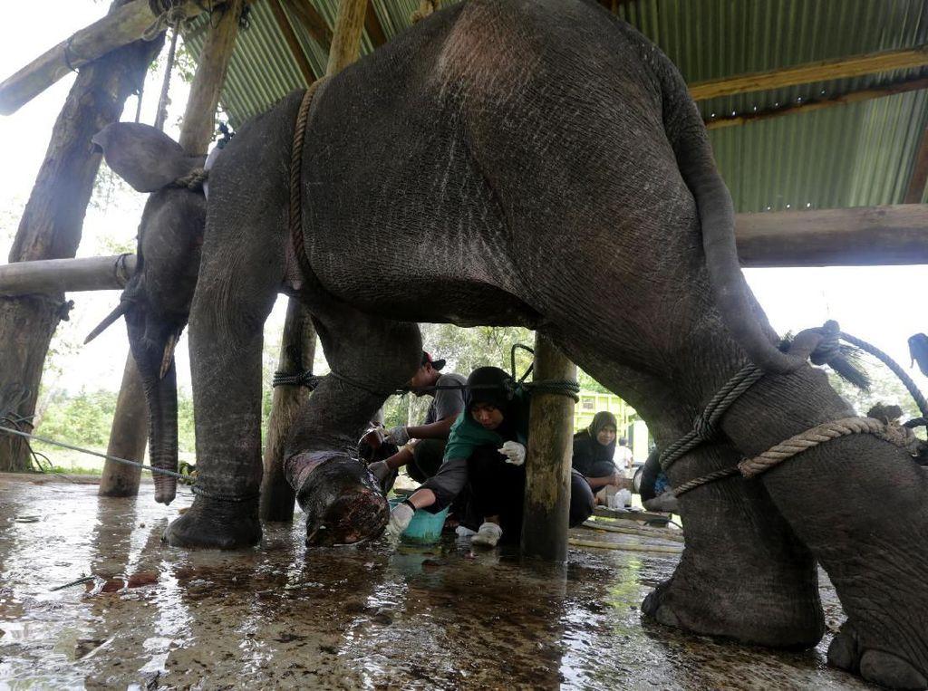 Penyelamatan Anak Gajah Sumatera yang Terjebak Jerat