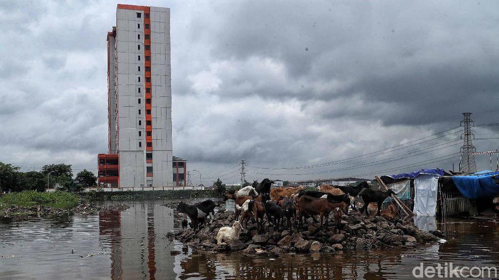 Waduh! Ada Kambing Kebanjiran di Jakarta Utara
