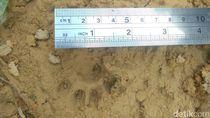 Heboh 5 Harimau Muncul di Riau, Dicek BBKSDA Ternyata Foto Editan