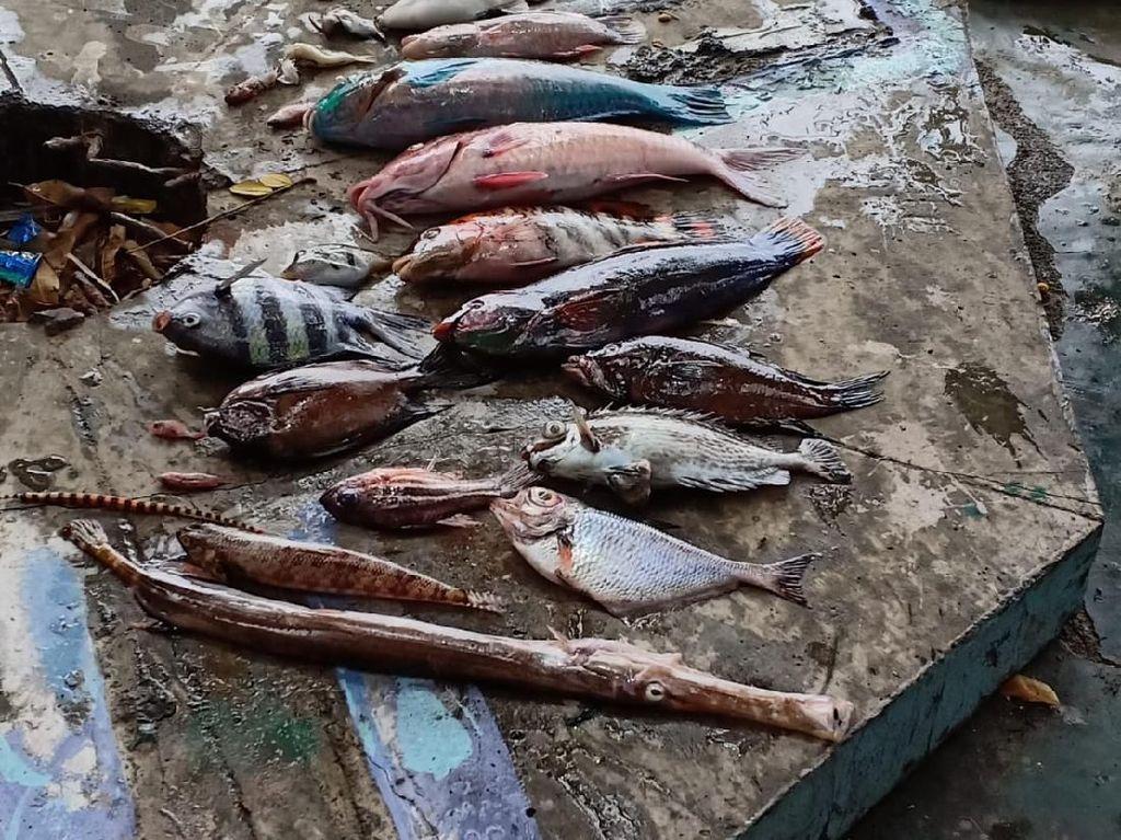 Penjelasan Ilmiah KKP soal Fenomena Kematian Ikan Massal di Maluku Utara