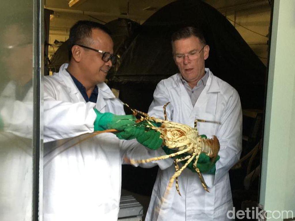 RI Sontek Cara Tasmania Budi Daya Lobster