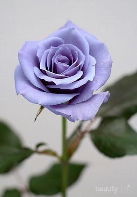 Kenali Makna Bunga Mawar Berdasarkan Warnanya Bagian 2