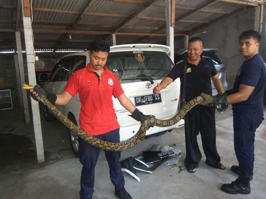 Bikin Kaget! Piton Besar Sembunyi di Body NMAX di Bali