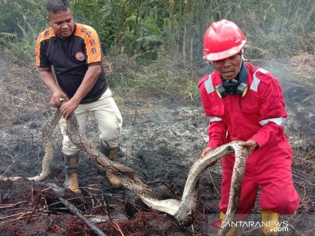 Sanca Ditemukan Mati Terpanggang Lindungi 12 Telurnya Akibat Karhutla Riau