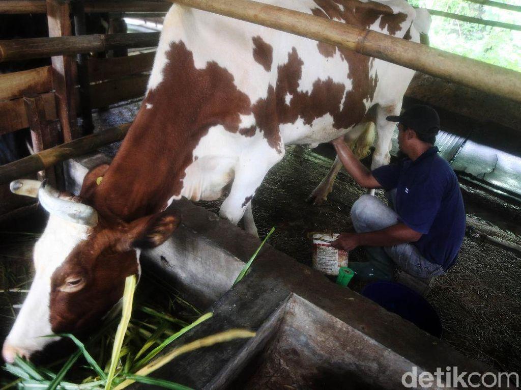 Melihat Industri Susu Sapi Perah di Desa Cipanas