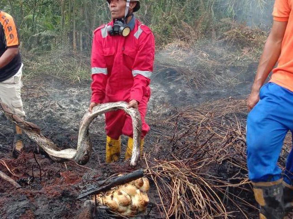 Piton Mati Terpanggang Lindungi 20 Telurnya Akibat Karhutla di Riau