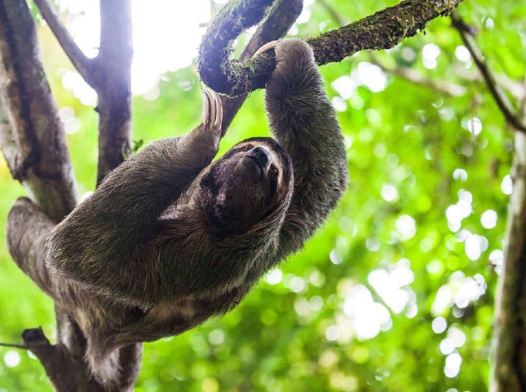 Wisatawan Saksikan Momen Langka Kungkang Melahirkan di Atas Pohon