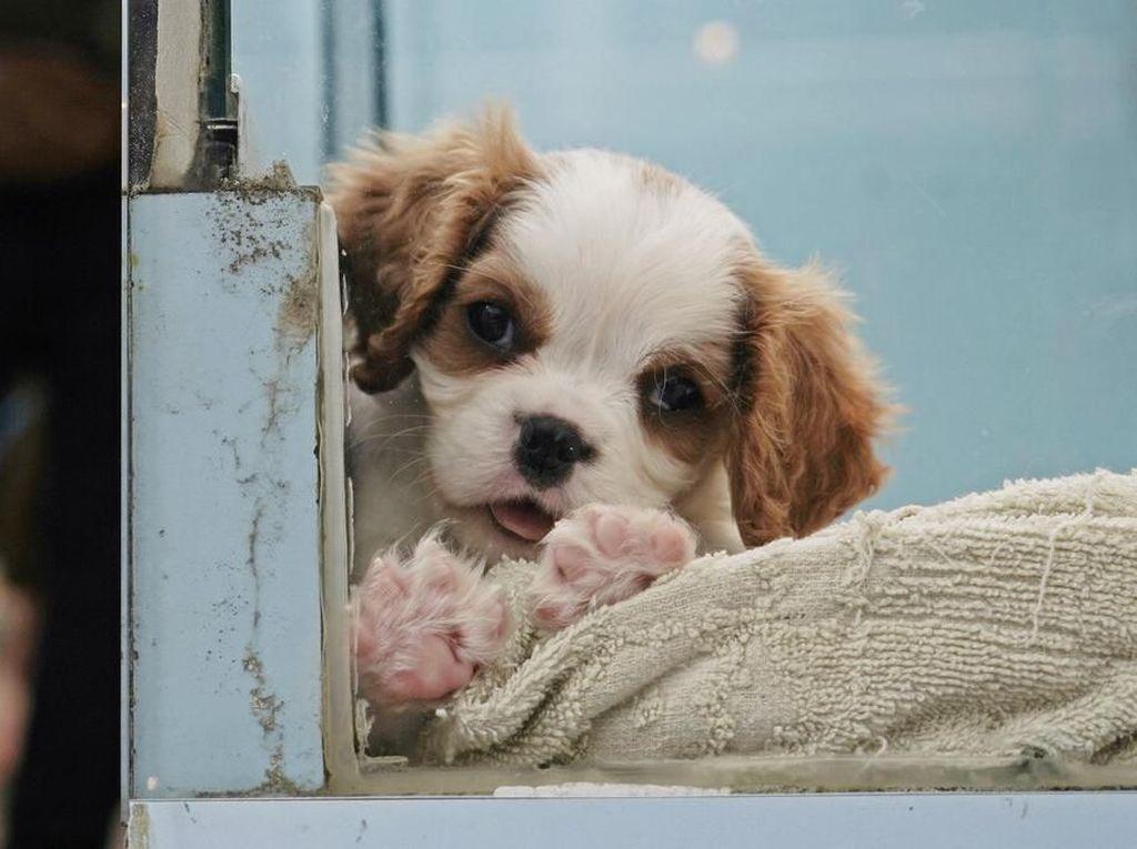 Anjing Pertama yang Positif Corona COVID-19 Tewas Setelah Dinyatakan Sembuh