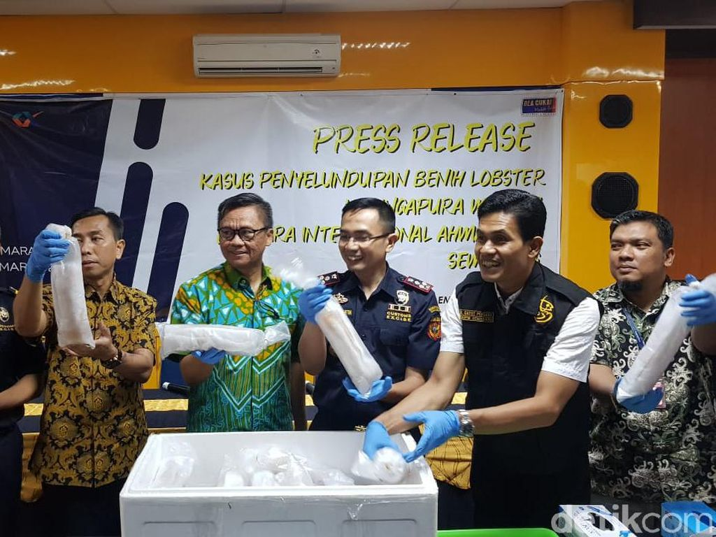 Bea Cukai Gagalkan Penyelundupan 24.650 Baby Lobster ke Singapura