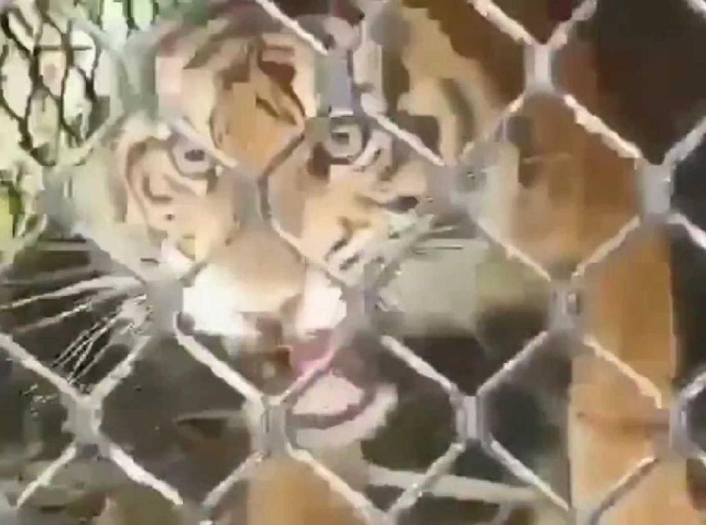Konflik dengan Warga, Harimau di Subulussalam Aceh Masuk Perangkap