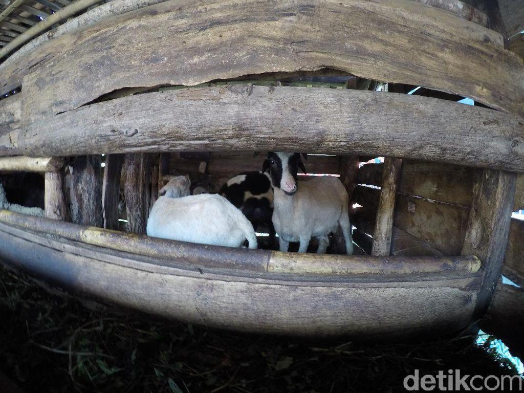 Embekk! Kampung Kambing di Desa Cibuntu