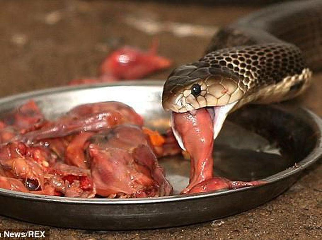 Makan Empedu Ular Mentah, Paru-paru Pria Ini Dipenuhi Cacing