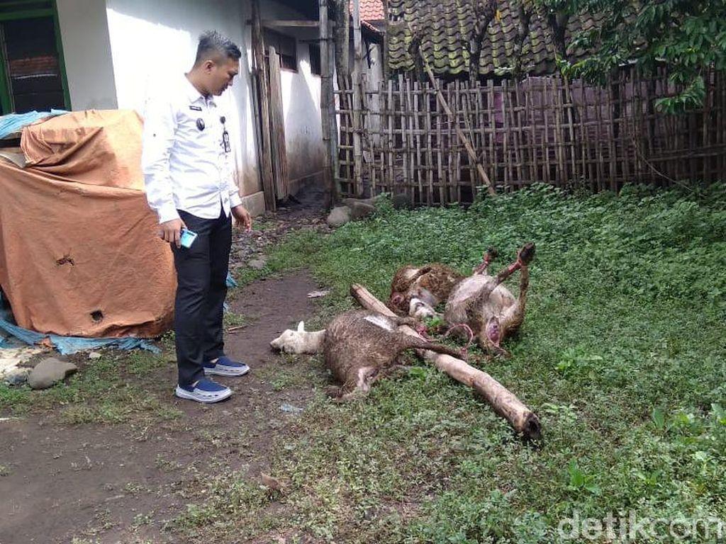 Keracunan Rumput, Enam Domba Warga Probolinggo Mati