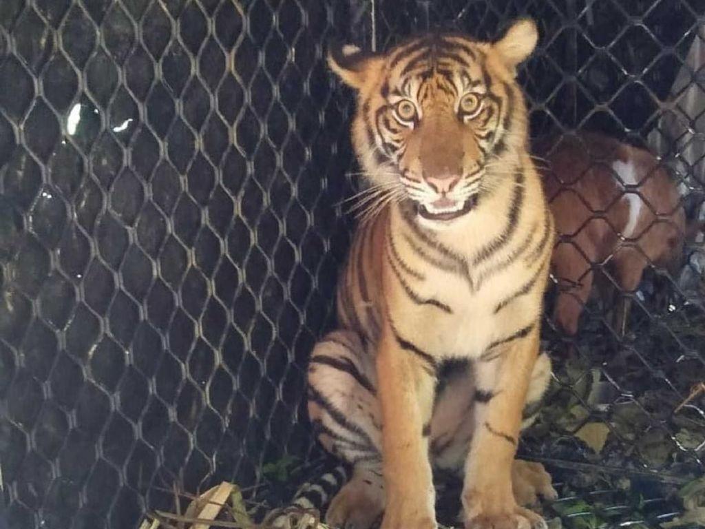Dara, Harimau yang Ditangkap di Subulussalam Dilepas ke TN Gunung Leuser