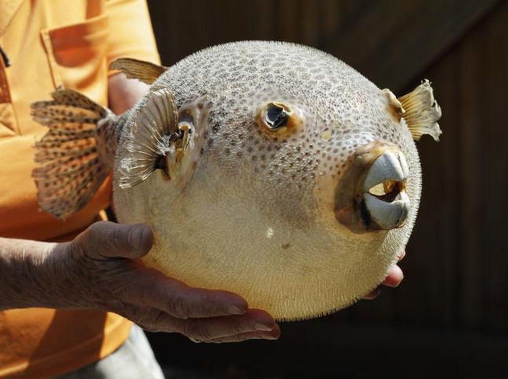 5 Fakta Ikan Buntal yang Sebabkan Warga Sikka NTT Tewas
