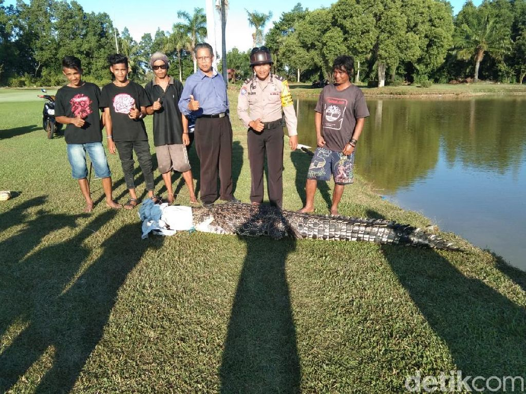 4 Caddy Tangkap Buaya Muara 4 Meter di Lapangan Golf Bontang Kaltim