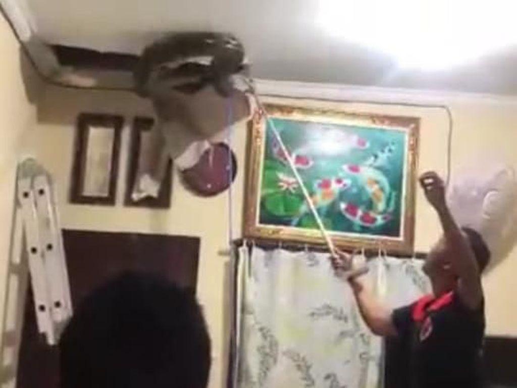 Dengar Bunyi Mendesis, Warga Bali Dikagetkan Piton 5 Meter di Plafon Rumah