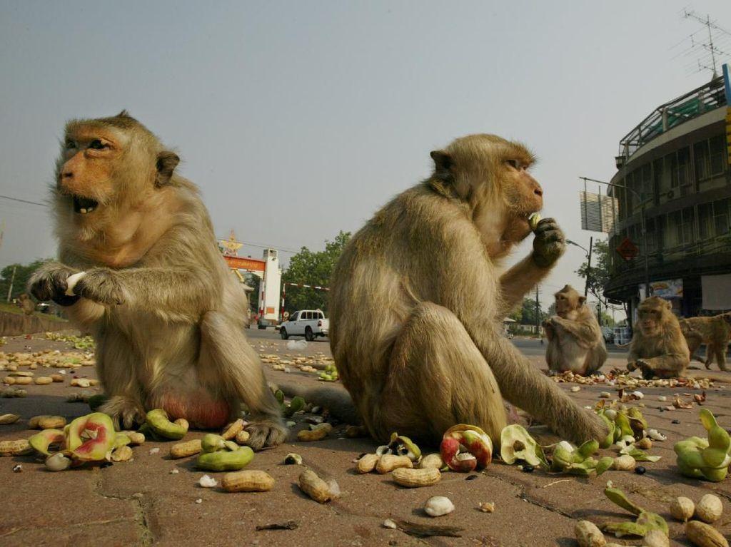 Minim Wisatawan, Monyet-Monyet Ini Menggila di Jalanan