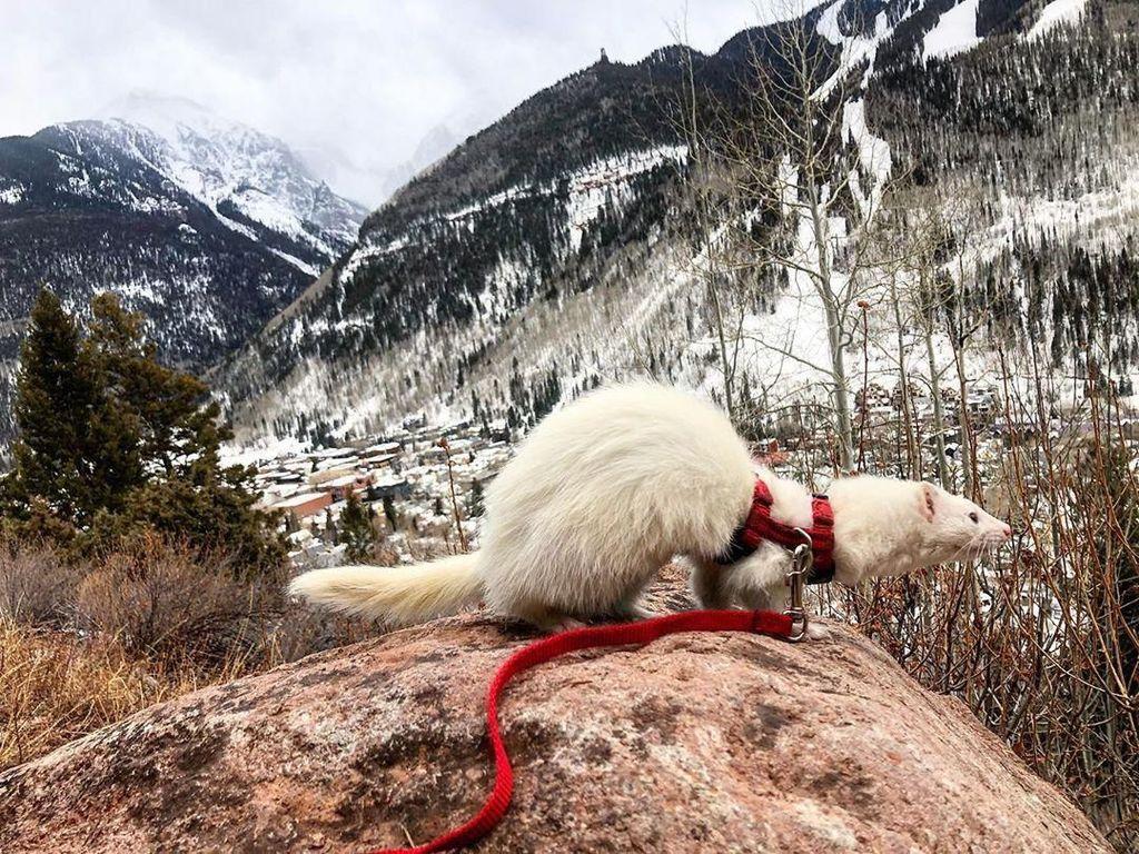 Kenalkan Ini Oliver, Ferret yang Hobi Hiking
