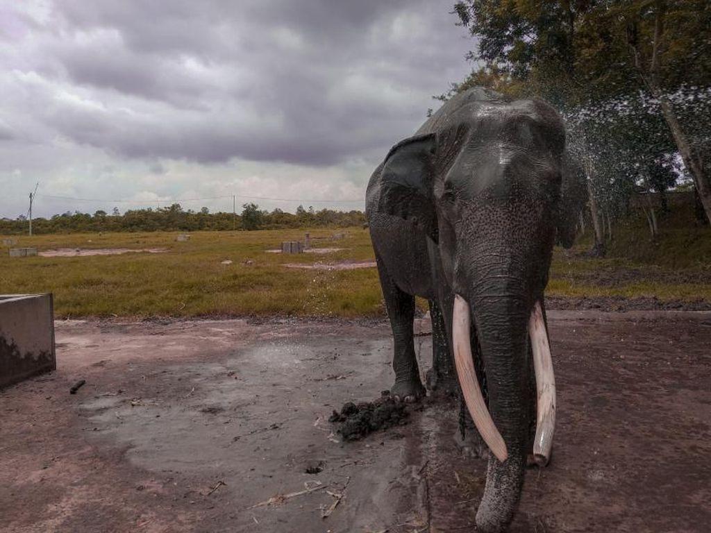 Taman Nasional Waykambas Rumah Gajah di Lampung