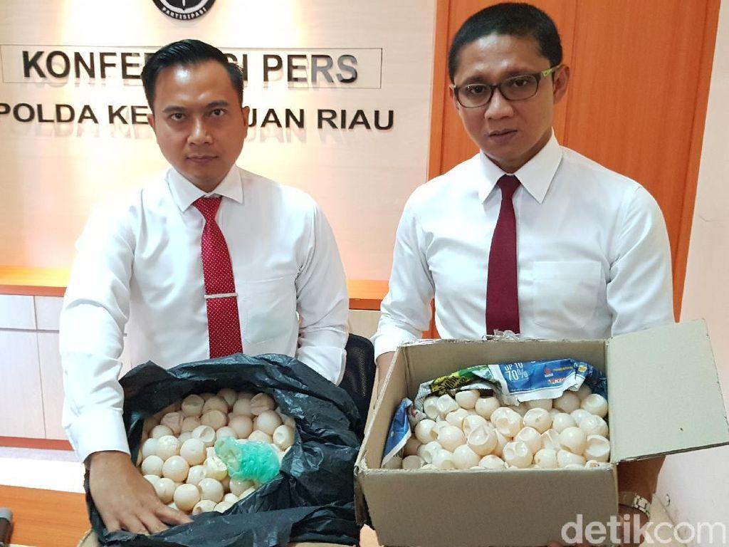 Polisi Tangkap Sindikat Penjual Telur Penyu Hijau ke Singapura-Malaysia