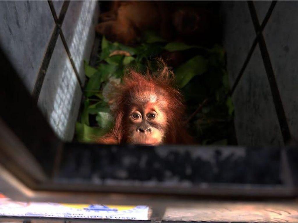 Potret Orangutan yang Berjuang Untuk Hidup