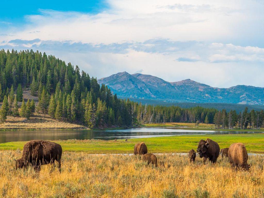 Pembukaan Taman Nasional Yellowstone Dinodai Bison Serang Turis