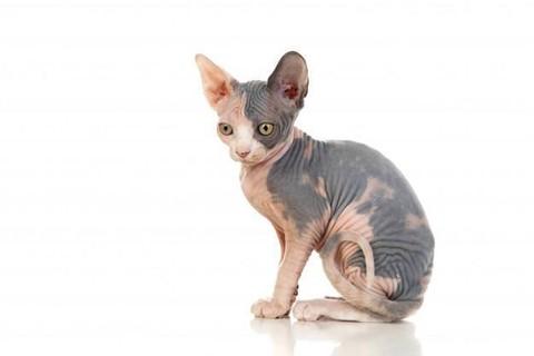 Kucing jenis Sphynx