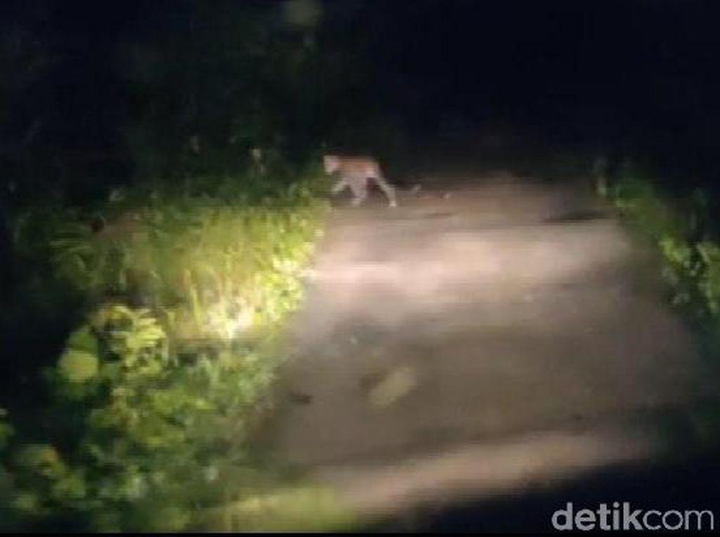Heboh Macan Tutul di Pangandaran, Seekor Lutung Ditemukan Tewas Tercabik