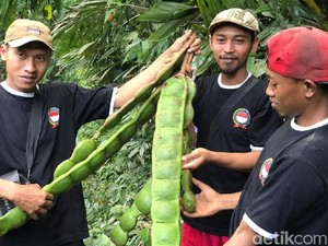 Fakta-fakta Petai Raksasa yang Bikin Geger di Banjarnegara