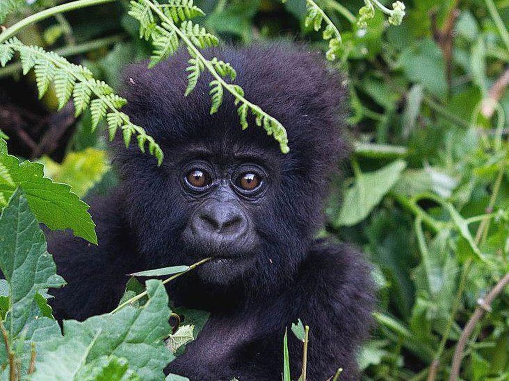 Taman Nasional Rwanda Kembali Sambut Wisatawan, Asal....
