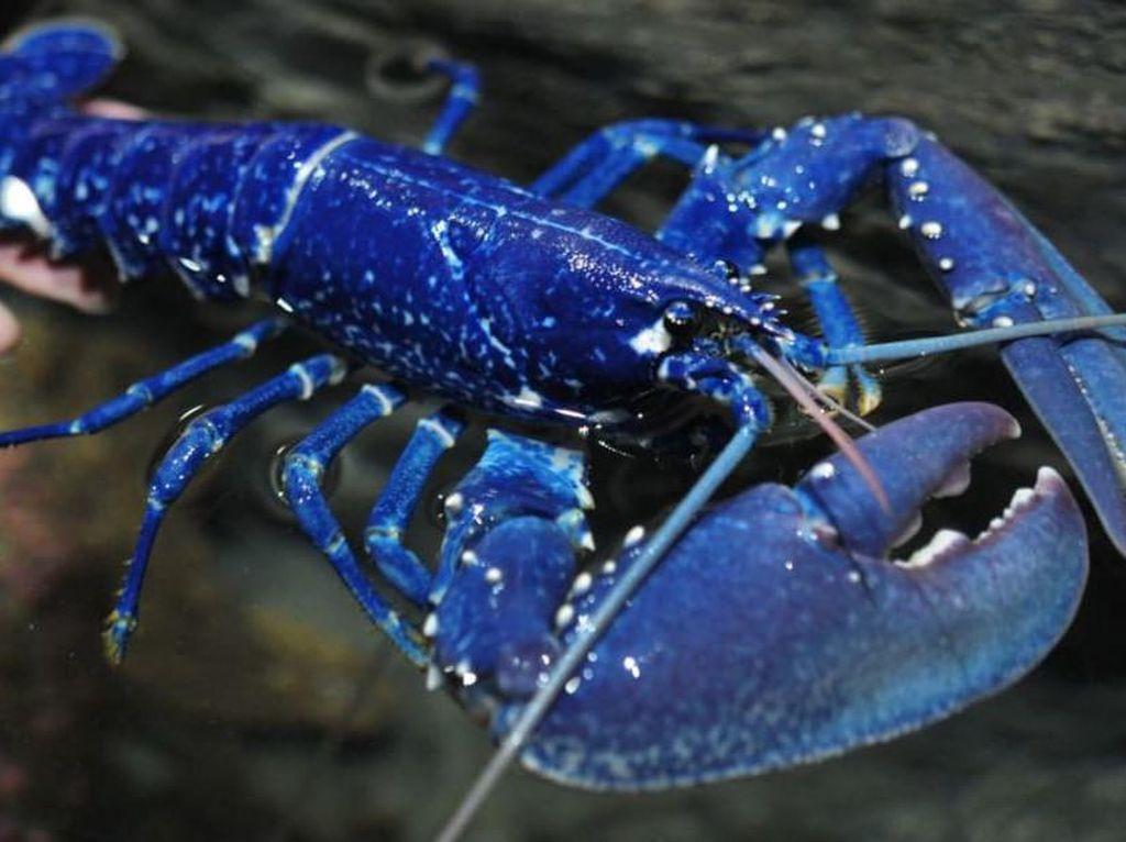 Lobster Biru, Jenis Lobster Super Langka yang Mahal Harganya