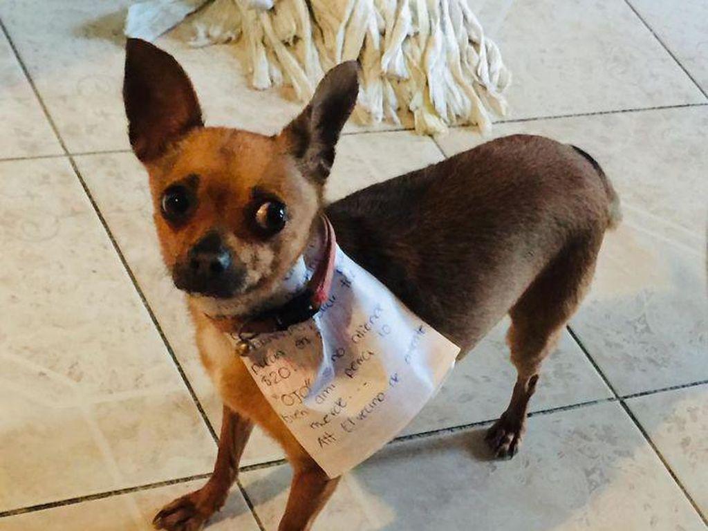 Isolasi Diri, Pria Meksiko Latih Chihuahua Miliknya Buat Belanja